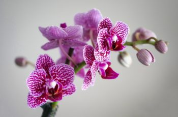 How to Care for Orchids, Phalaenopsis Orchids