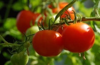 Tomato Growing Tips, Growing Tomatoes at Home